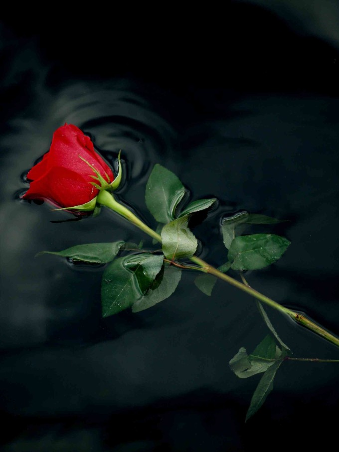 998414-popular-single-red-rose-wallpaper-1899x2533-for-android-40